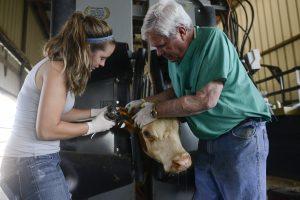 bovine vaccination