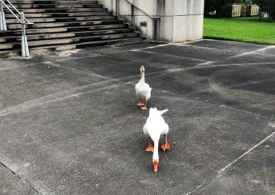 Capital Geese